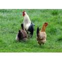 Coc et poules