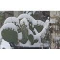 Cactus sous la neige